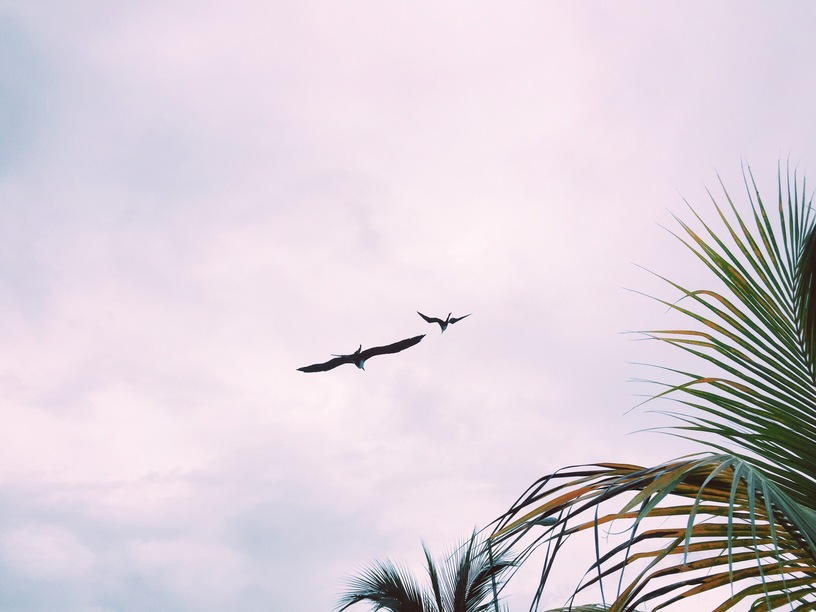 Frigade birds